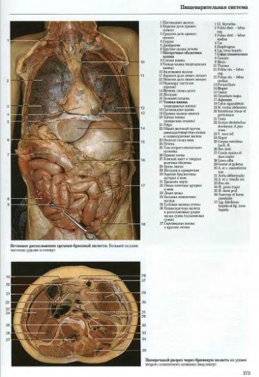 брюшная полость фото анатомия