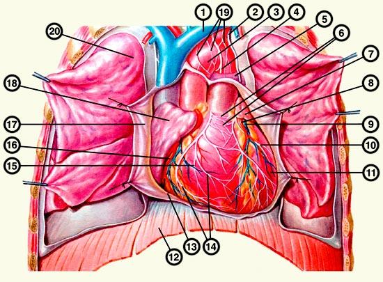 Почему в горизонтальном положении сердце трепыхается